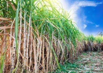 MPF pede suspensão do plantio de cana-de-açúcar na Amazônia