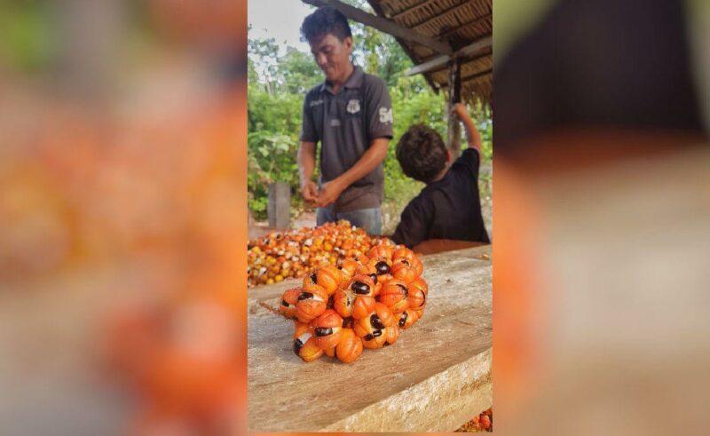 O sucesso do projeto de guaraná orgânico de Maués
