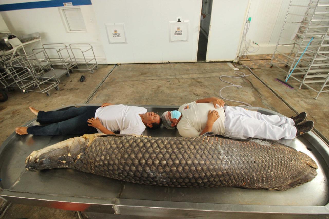 Maior pirarucu do mundo é capturado no AM e está em Manaus